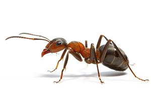 秦皇岛蚂蚁的习性