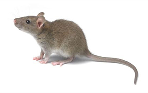 秦皇岛灭老鼠公司告知大家几个灭老鼠...